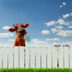 http://www.dreamstime.com/stock-photo-cow-marijuana-over-fence-image23655920